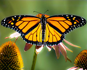 Macro Photography Metal Prints - Monarch Butterfly Metal Print by Bob Orsillo