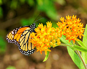 Appleton Art Metal Prints - Monarch Butterfly Metal Print by Carol Toepke
