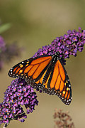 Cindi Ressler - Monarch Butterfly