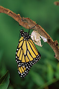 Animals And Insects Photos - Monarch Butterfly Emerging by Michael Durham