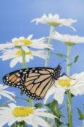 Garden Of Daisies Framed Prints - Monarch Butterfly In Daisies Framed Print by Thomas Kitchin & Victoria Hurst
