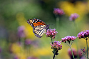Monarch Butterfly In Field On Verbena Print by Karen Adams