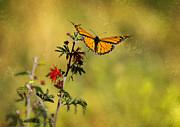 Saija  Lehtonen - Monarch Butterfly in Flight