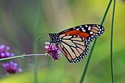 Monarch Butterfly In Garden Print by Karen Adams