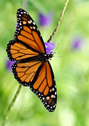 Florida Flower Prints - Monarch Butterfly in Spring Print by Sabrina L Ryan