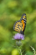 Lepidoptera Photos - Monarch Butterfly by John Greim