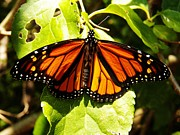 Judy Via-Wolff - Monarch Butterfly