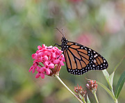 Kim Photo Framed Prints - Monarch Butterfly Framed Print by Kim Hojnacki