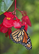 Luana K Perez - Monarch Butterfly on...