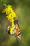 Vivid Colour Digital Art Framed Prints - Monarch Butterfly On Goldenrod Framed Print by Christina Rollo