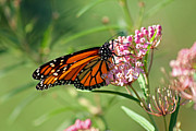 Karen Adams Art - Monarch Butterfly on Milkweed by Karen Adams