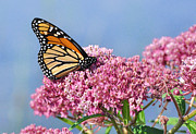 Swamp Milkweed Photos - Monarch Butterfly on Swamp Milkweed Wildflower by Mark Herreid