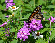 Fall Photos Originals - Monarch Butterfly on Verbena Flowers by Ruth  Housley