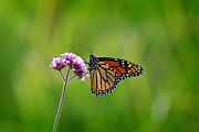 Karen Adams Posters - Monarch Butterfly on Verbena Poster by Karen Adams
