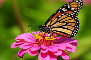 Olivia Hardwicke - Monarch Butterfly on...