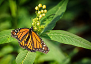 Jacksonville Art Framed Prints - Monarch Butterfly Framed Print by Paul Sisco
