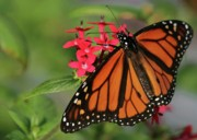 Gossamer Framed Prints - Monarch Butterfly Framed Print by Sabrina L Ryan