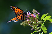 Xcape Photography - Monarch Butterfly