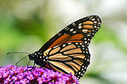 Cheryl Cencich - Monarch closeup