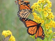 Long Island New York - Monarch Gathering by Laurence Van Oliver