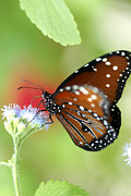 Pamela Gail Torres Metal Prints - Monarch I Metal Print by Pamela Gail Torres