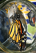 Steve Augustin Framed Prints - Monarch in a Jar Framed Print by Steve Augustin
