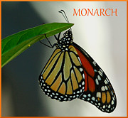 April Wietrecki - Monarch Mania