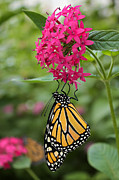 Phipps Conservatory Prints - Monarch Moment Print by Daniel Fealko