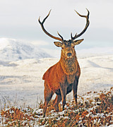 Frost Digital Art - Monarch of the Glen by Pat Speirs