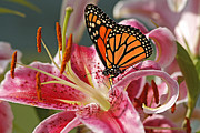 Fuschia Posters - Monarch on a Stargazer Lily Poster by Cindi Ressler