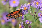 Patricia Davis - Monarch On Asters