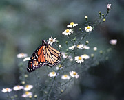 Plants From My Garden - Monarch on Camomile by Tom Wurl