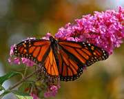 Milkweed Butterfly Posters - Monarch on Pink Poster by Kim Michaels