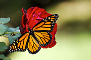 Debbie Karnes Framed Prints - Monarch on Rose Framed Print by Debbie Karnes