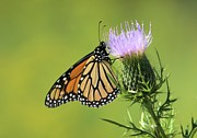 Bonfire Photography - Monarch On Thorns