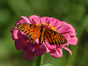 Renee Barnes - Monarch on Zinnia
