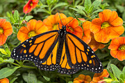 Monarch Metal Prints - Monarch resting Metal Print by Garry Gay