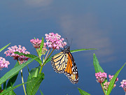 Swamp Milkweed Photos - Monarch Serenity by Tom Royce