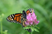 Neal Eslinger Photography Prints - Monarch Sipping  Print by Neal  Eslinger