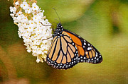 Orange And Brown Wings Prints - Monarch Wonder Print by Nicole Rodriguez