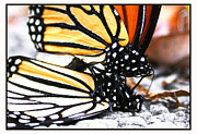 Wildlife Celebration Metal Prints - Monarchs Gettin Down Metal Print by Thomas Bomstad