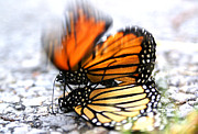 Wildlife Celebration Metal Prints - Monarchs in Love Metal Print by Thomas Bomstad