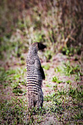 Ecology Art - Mongoose standing. Safari in Serengeti by Michal Bednarek