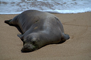 Sea Lion Photos - Monk Seal Sunning by Brian Harig