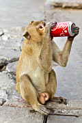 Tosporn Preede - Monkey enjoys drinking
