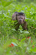Shock Framed Prints - Monkey Shock Framed Print by Ashley Vincent
