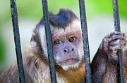 Captivity Posters - Monkey species Cebus Apella behind bars Poster by Michal Bednarek