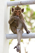 Monkeys Cute Sitting On A Steel Fence Print by Tosporn Preede