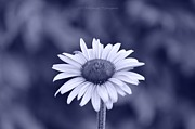 Healing Posters Photos - Monochrome aster by Sonali Gangane
