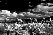 Thorny Desert Plant Posters - Monochrome of Cholla Garden in Joshua Tree National Park Poster by Kim M Smith